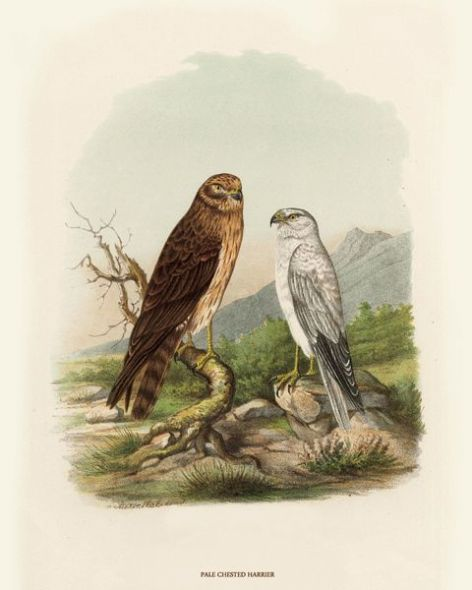 Fine Art Print of the Pale Chested Harrier by O V Riesenthal (1876)